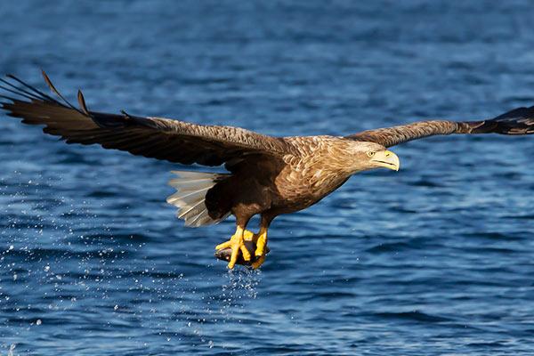 Eagles in Killarney