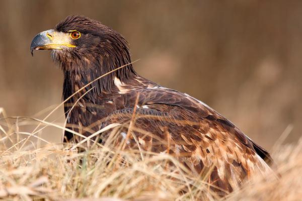 White-tailed Sea Eagles Killarney
